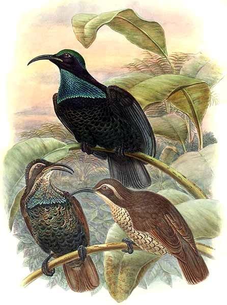 Щитоносная райская птица фото