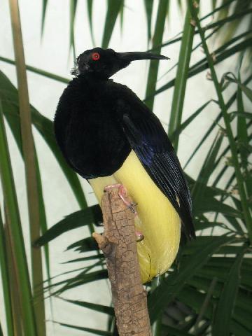 Нитчатая райская птица фото