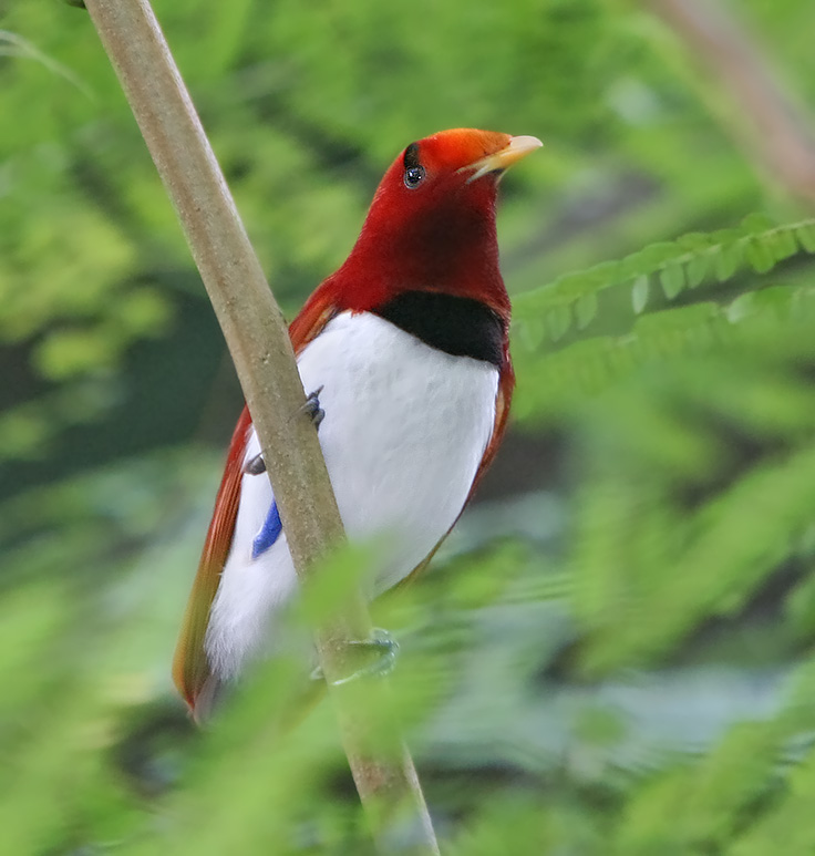 Королевская райская птица фото