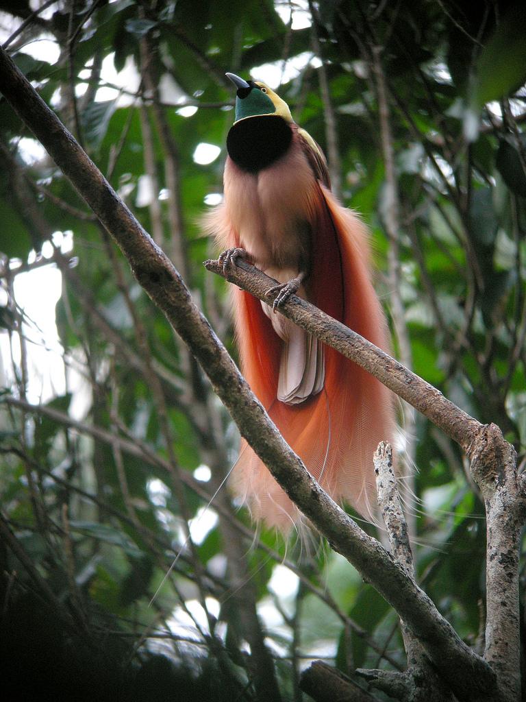 Птица райская реггианова фото