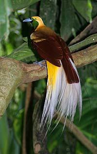 Малая райская птица фото