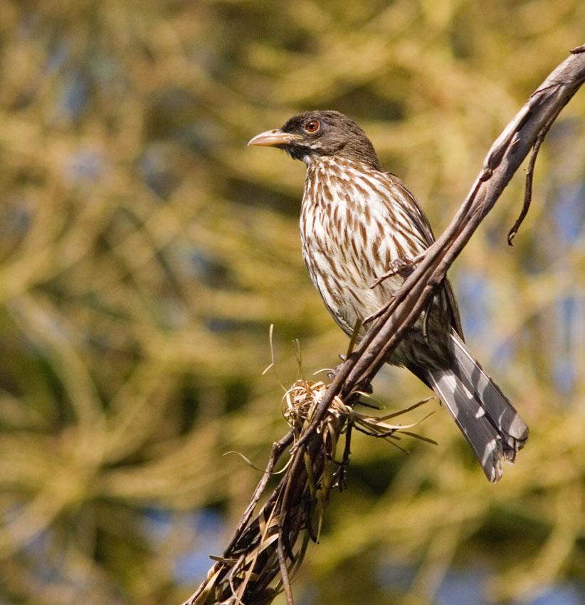 Дулюс (Пальмовый чекан) фото