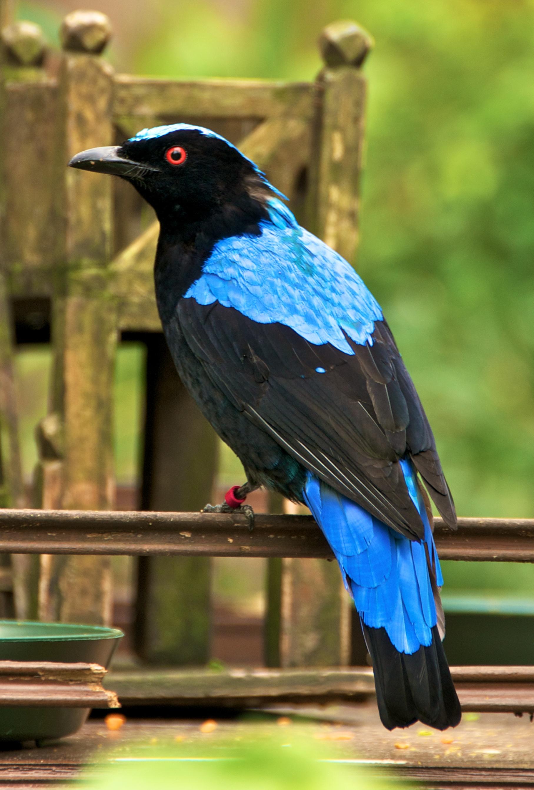 Голубая ирена фото