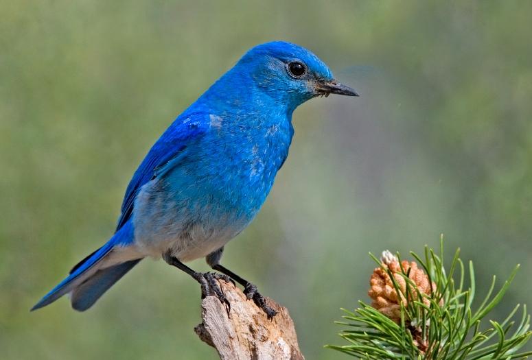 Голубая сиалия фото