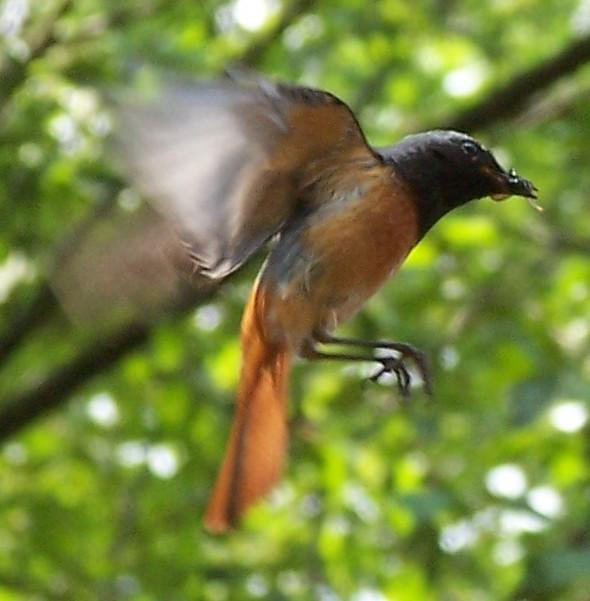 Обыкновенная горихвостка фото