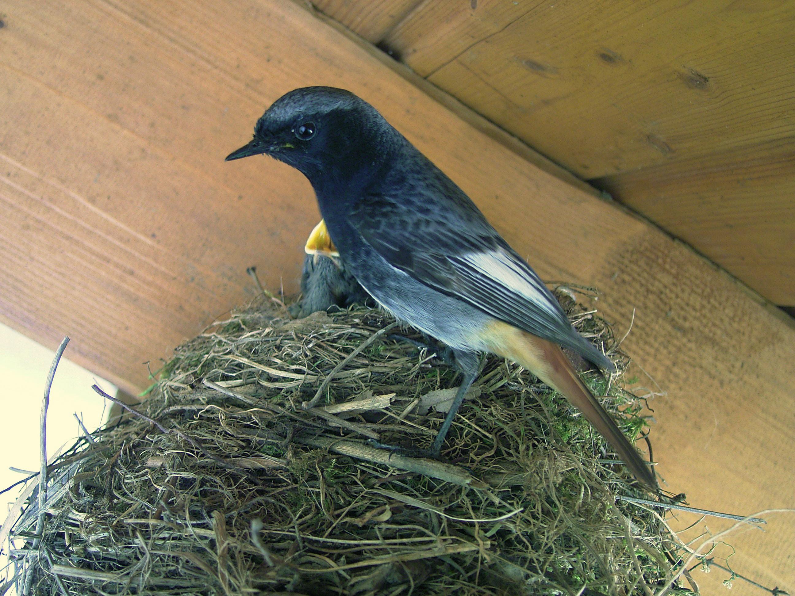 Горихвостка-чернушка фото
