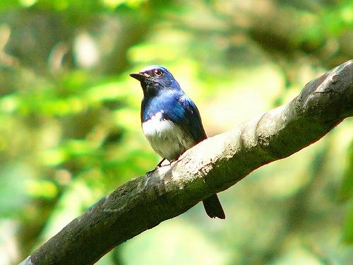 Синяя мухоловка фото