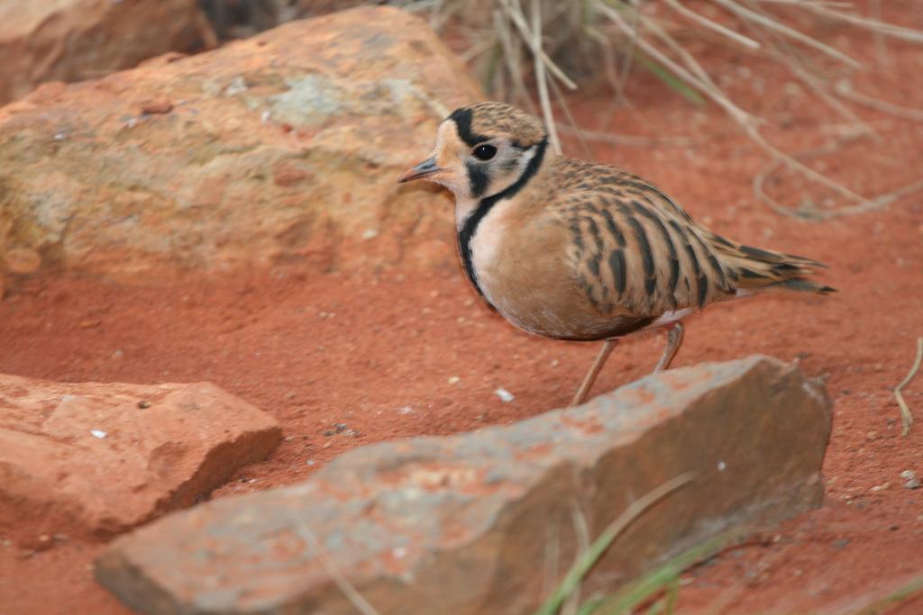 Пустынный австралийский зуёк фото