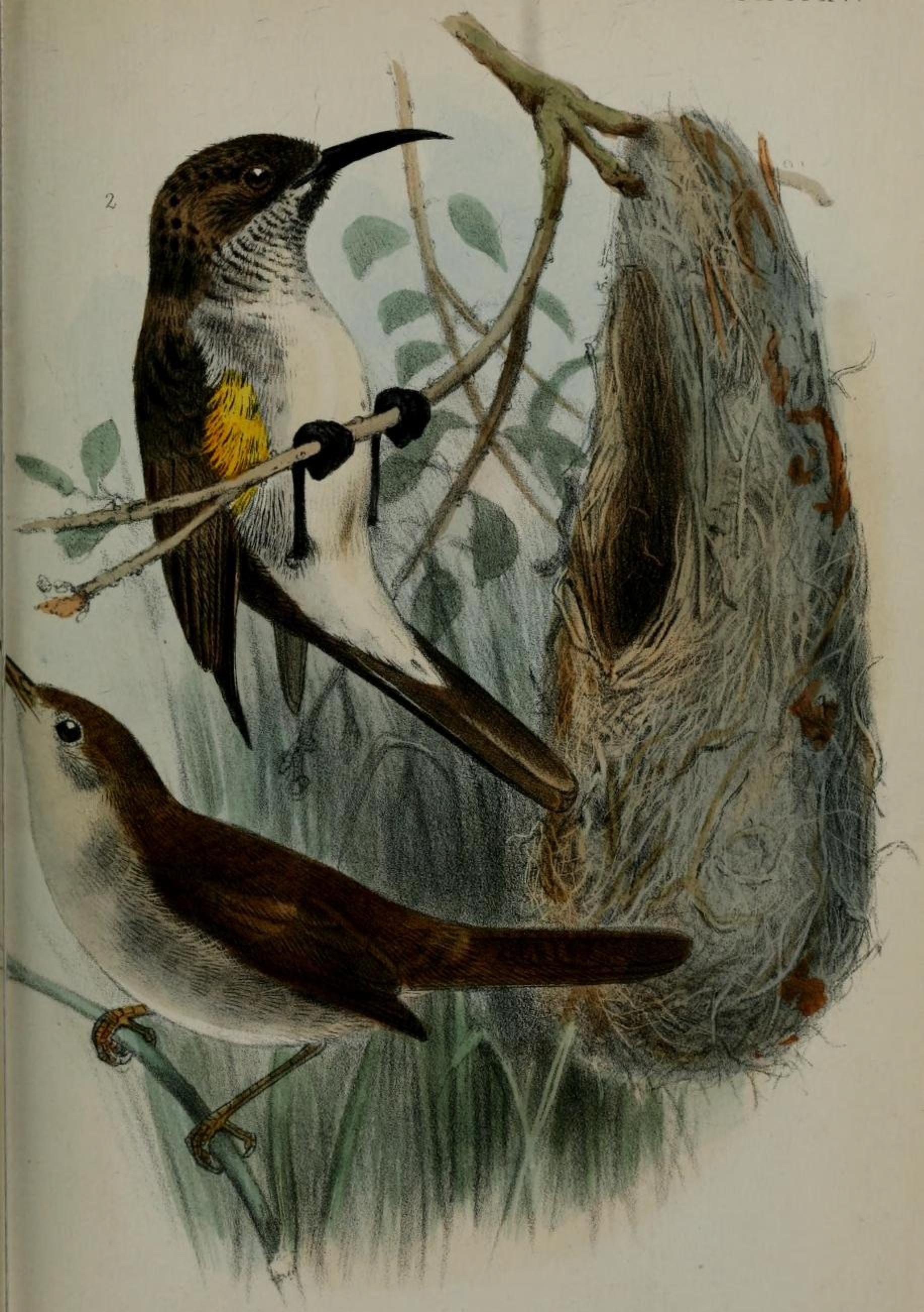 Сокотранская нектарница фото