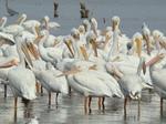 Стая Американских белых пеликанов