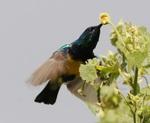 Абиссинская иволга и цветок
