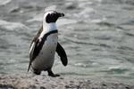 Очковый пингвин на песке