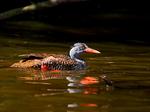 Африканская утка на воде