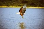 Орлан-крикун над водой