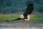 Орлан-крикун летит