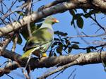 Африканский зеленый голубь на дереве