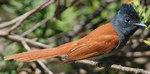 Африканская мухоловка в джунглях