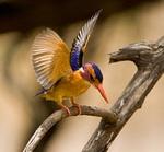 Крошечный лесной зимородок