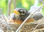 Странствующий дрозд в гнезде