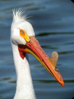 Портрет Американского белого пеликана