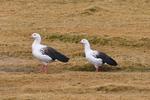 Андские гуси в поле