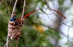 Райская мухоловка в гнезде