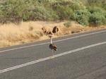 Австралийская Дрофа на дороге