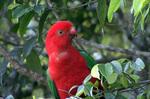 Королевский попугай сидит