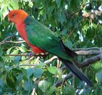 Королевский попугай на ветке