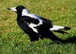 Ворон - свистун на траве