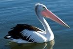 Австралийский пеликан плывет