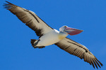 Австралийский пеликан летит