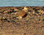 Австралийского тиркушка луговая возле берега