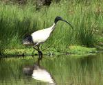Молуккский ибис на болоте