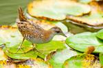 Погоныш-крошка на водяной лилии