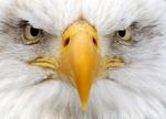 Морда Белоголового орлана