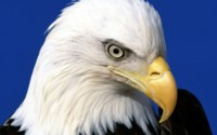 Портрет белоголового орлана обои