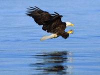 Водяной белоголовый орлан обои