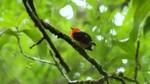 Красномантайная пипра в лесу