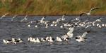 Австралийские полосатые ходулончики на озере