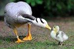 Горный гусь со своим малышом