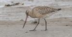 Малый веретенник на песке