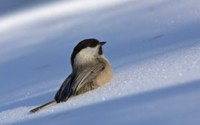 Птица на снегу обои