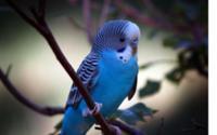Голубой попугай обои
