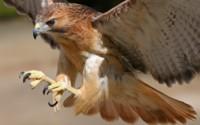 Коричневый орел обои