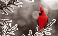 Снежный кардинал обои