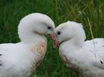 Очаровательные Андские гуси