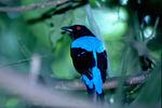 Очаровательная Голубая ирена