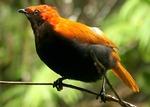 Атласная птица на ветке