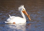 Симпатичный Американский белый пеликан
